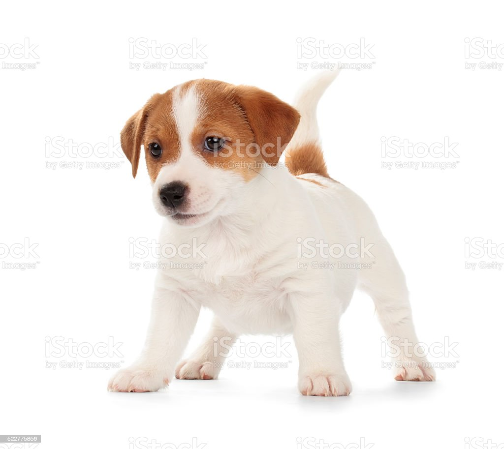 Jack Russell Terrier puppy stock photo
