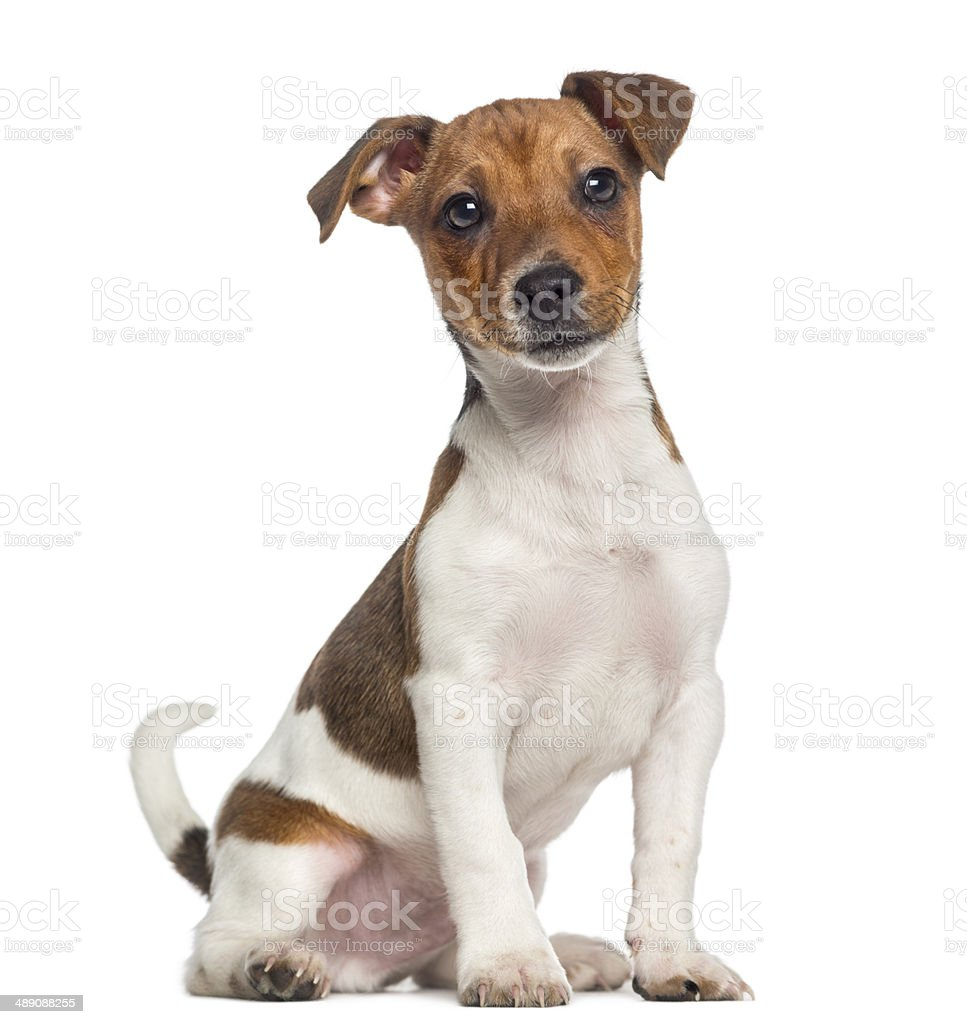 Jack Russell Terrier puppy sitting (3 months old) stock photo