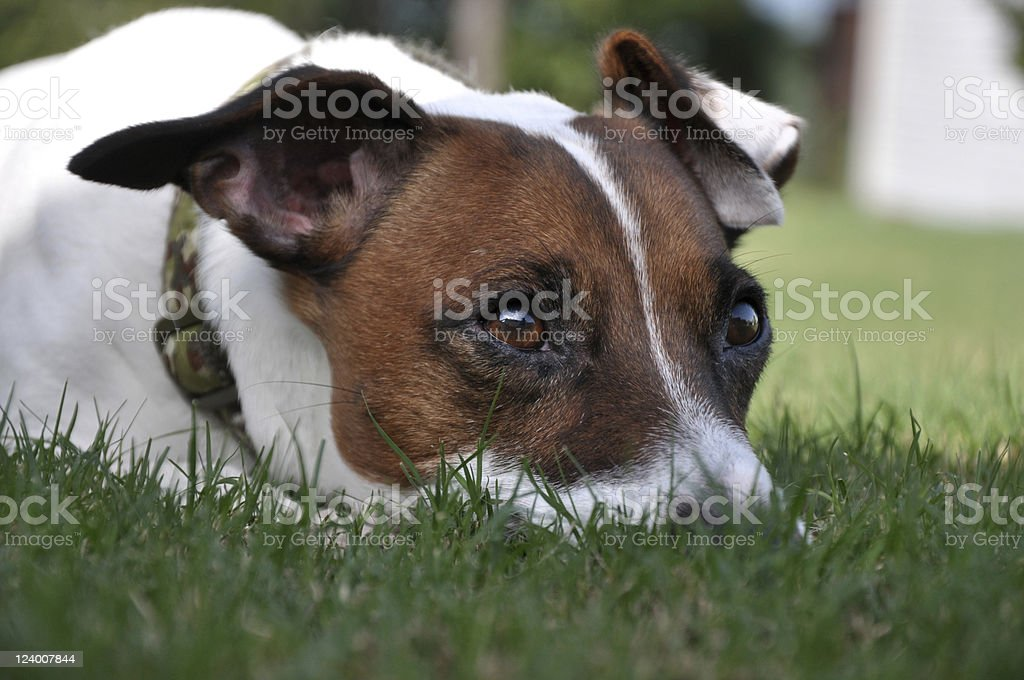 Jack Russell Terrier Resting royalty-free stock photo