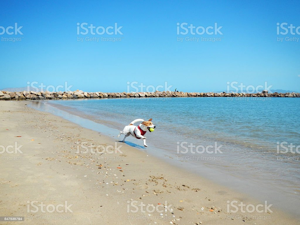 Jack Russell Terrier running on the beach with a ball stock photo