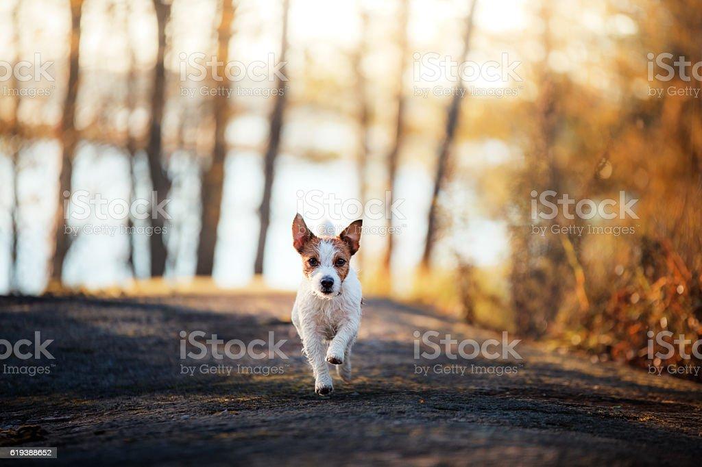 Jack Russell Terrier runs stock photo