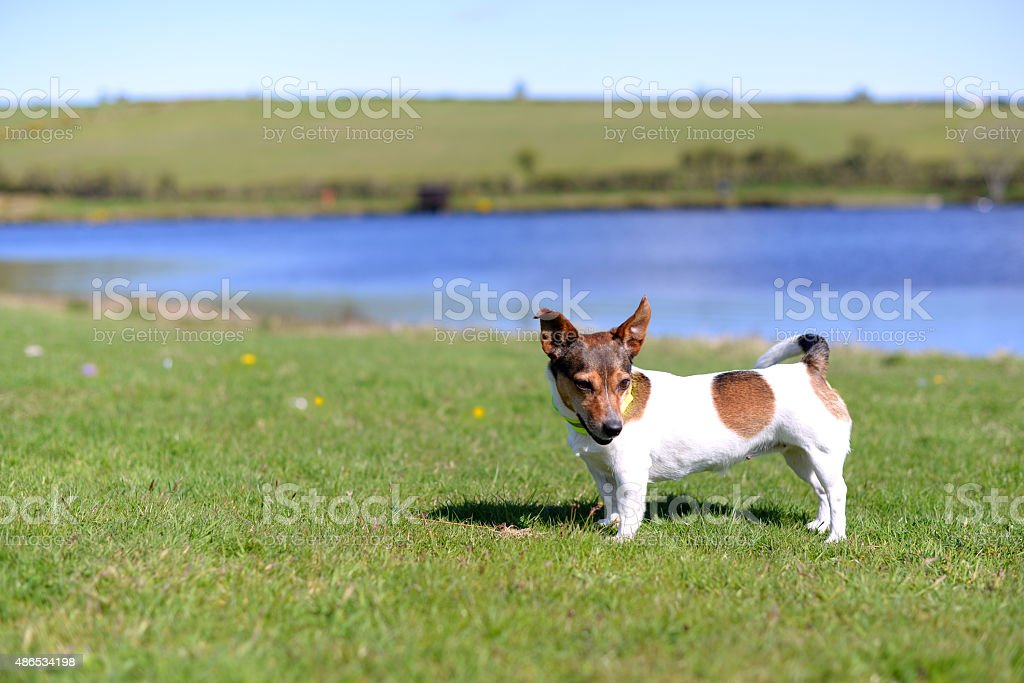 Jack Russell Terrier Standing on Grass stock photo