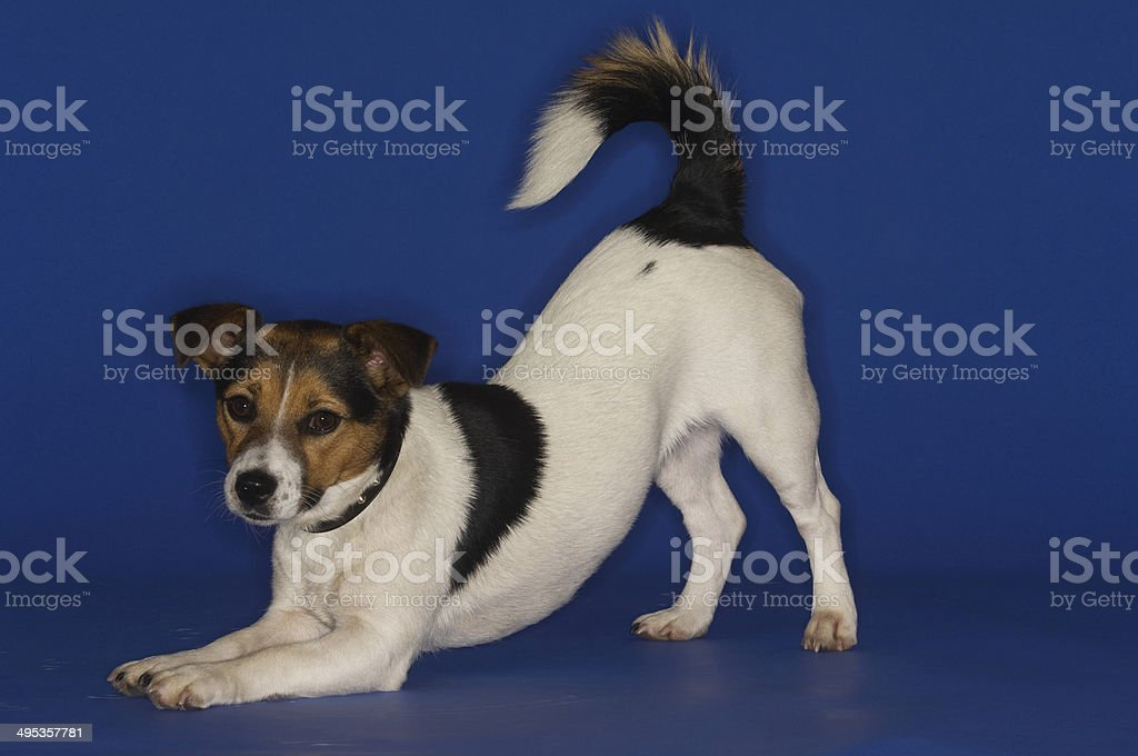 Jack Russell Terrier Stretching stock photo