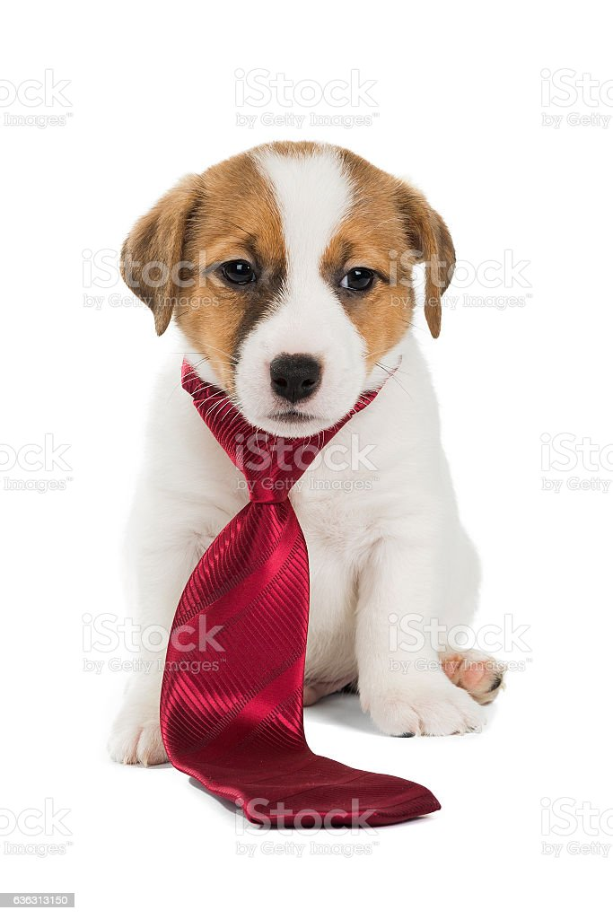 Jack Russell Terrier tie stock photo