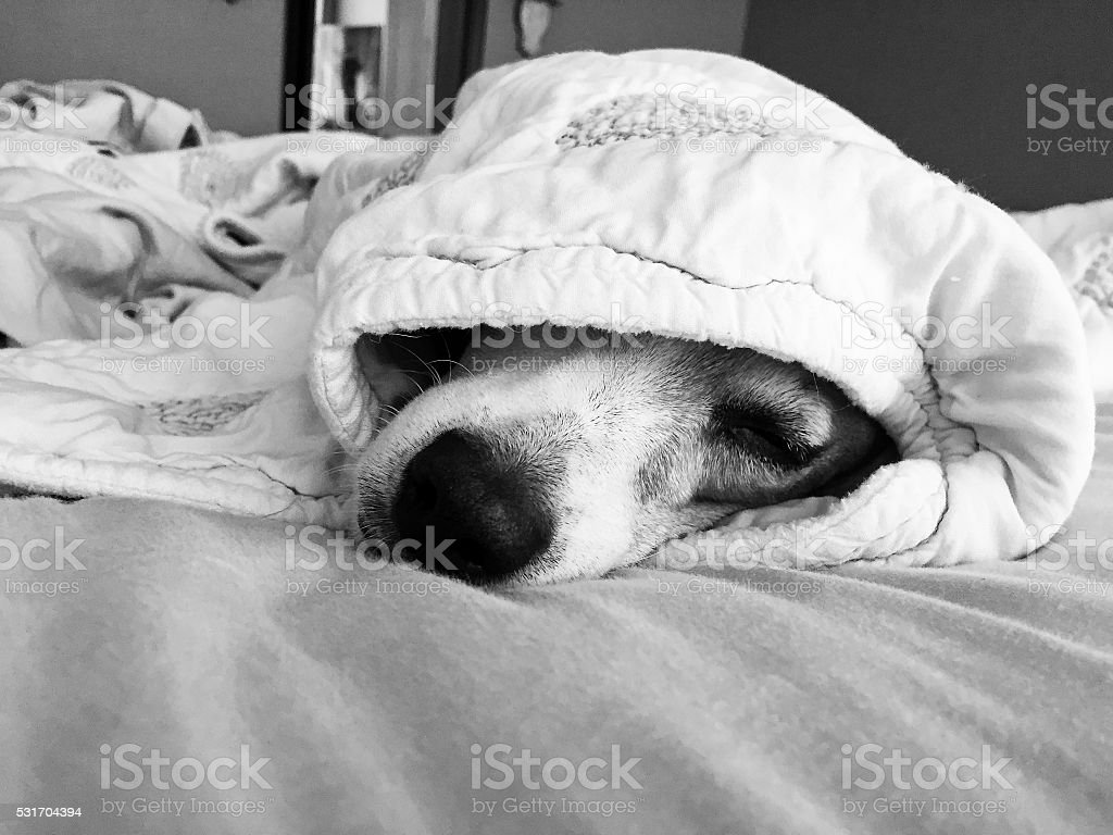 Jack russell terrier under the covers. stock photo