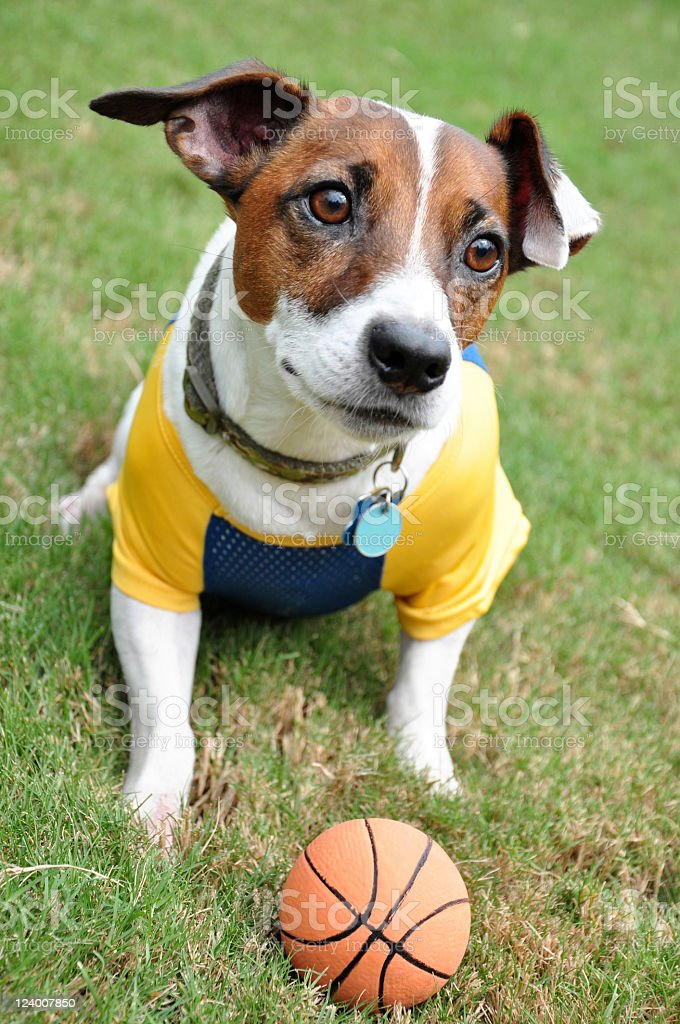 Jack Russell Terrier waiting to play stock photo
