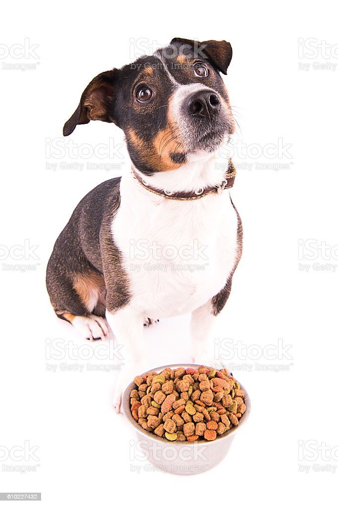 Jack Russell Terrier with a bowl on a white background stock photo
