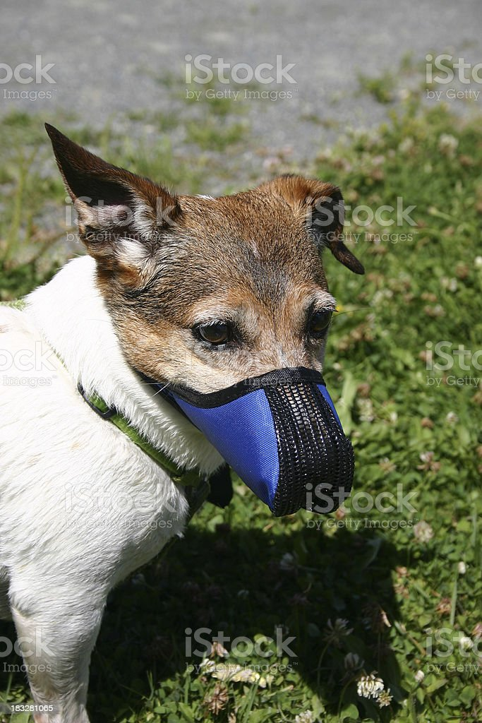 Jack Russell Terrier with muzzle on stock photo