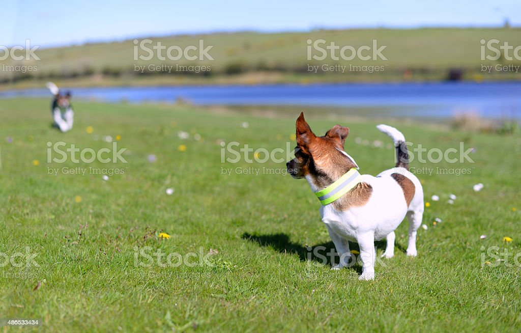 Jack Russell Terriers Standing on Grass Watching stock photo
