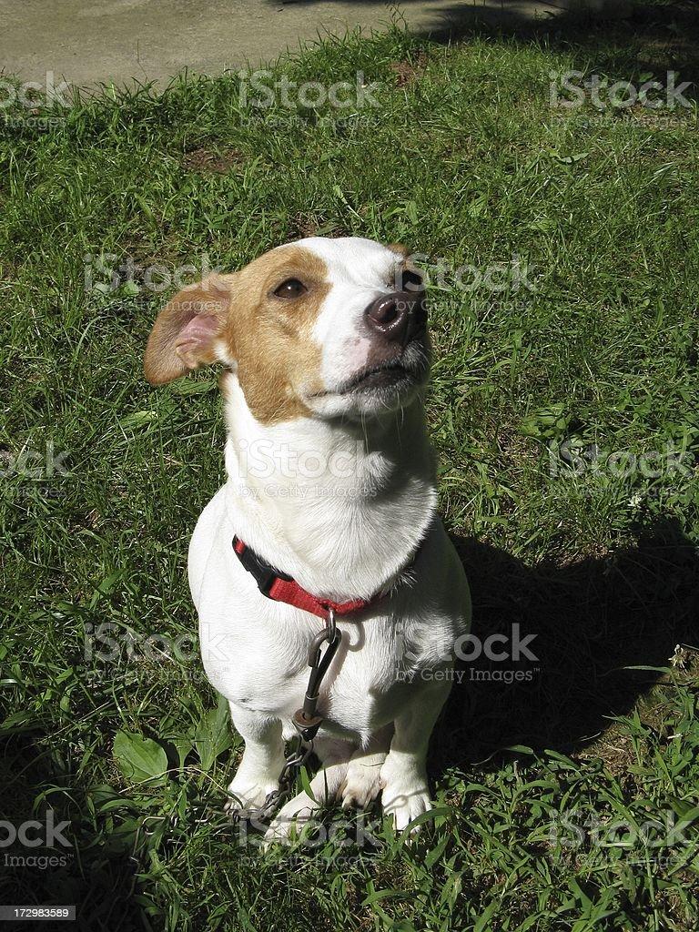 Jack Russell Terrior Dog stock photo