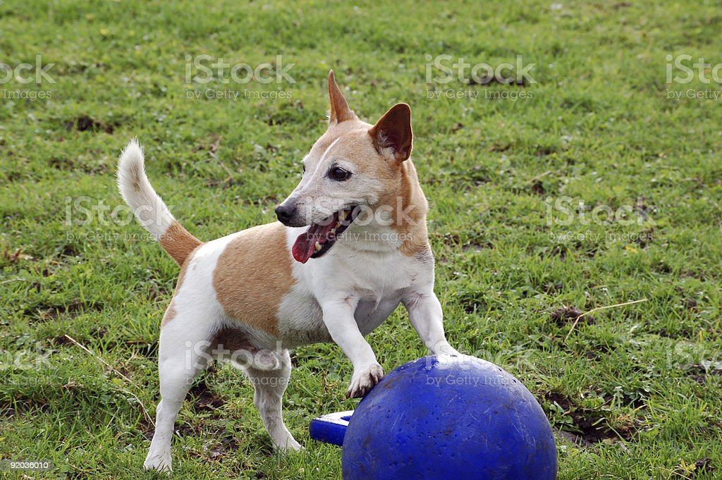 Jack Russell with horse ball royalty-free stock photo