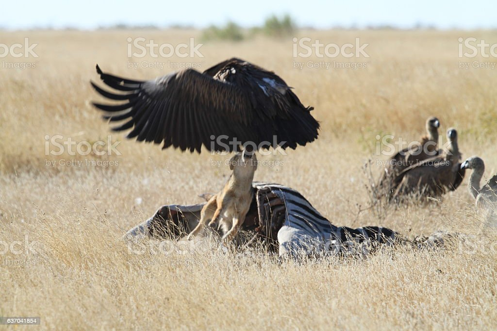 Jackal chasing vulture from bait stock photo