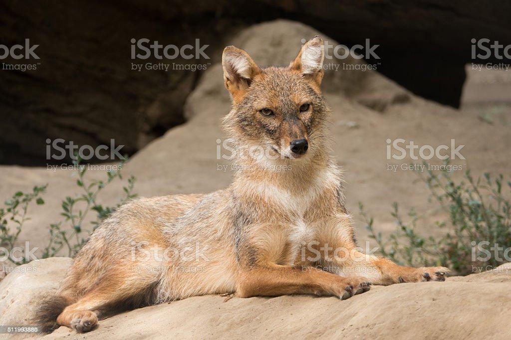 Jackal resting stock photo