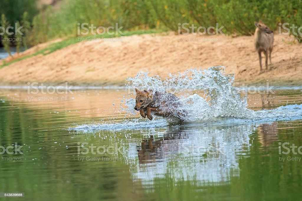 Jackal running across a river stock photo