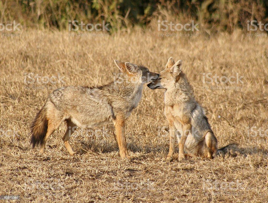 Jackals in Ngorongoro Crater stock photo