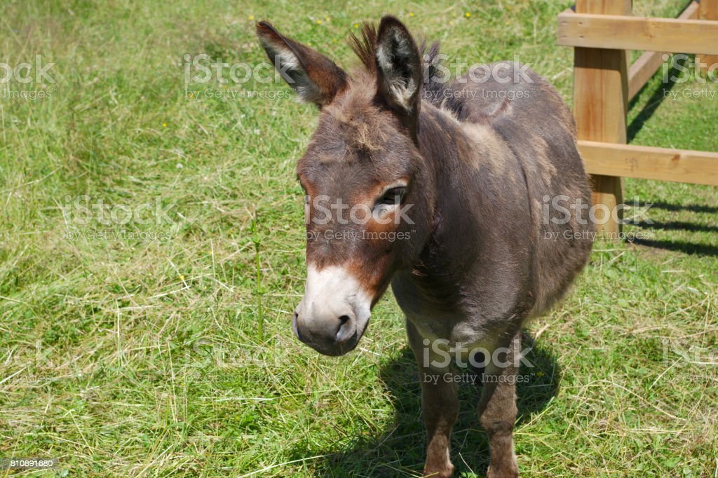 jackass donkey gray mammal enclosure field farming livestock agriculture stock photo