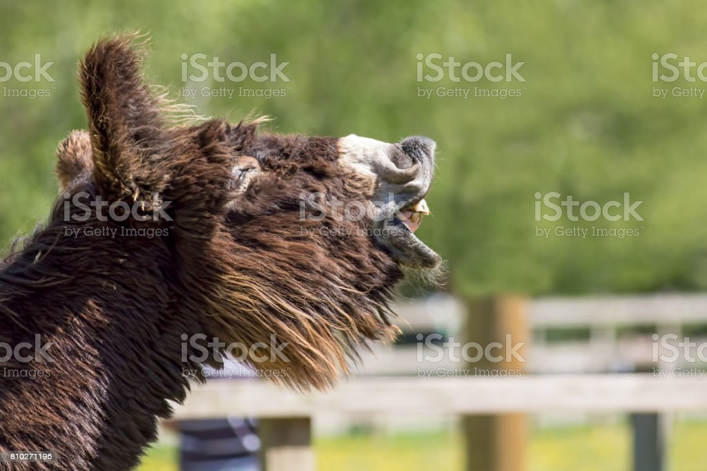 Jackass laughing. Long haired poitou donkey neighing. Funny animal image. stock photo