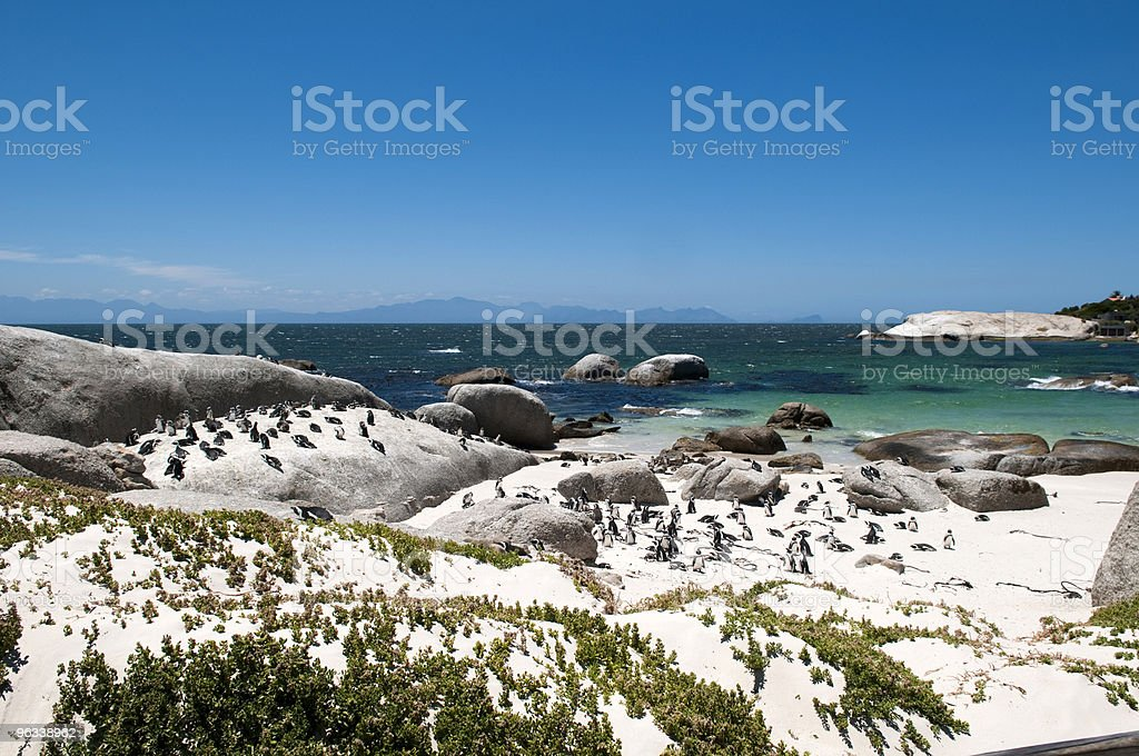 jackass penguin at The boulders beach royalty-free stock photo