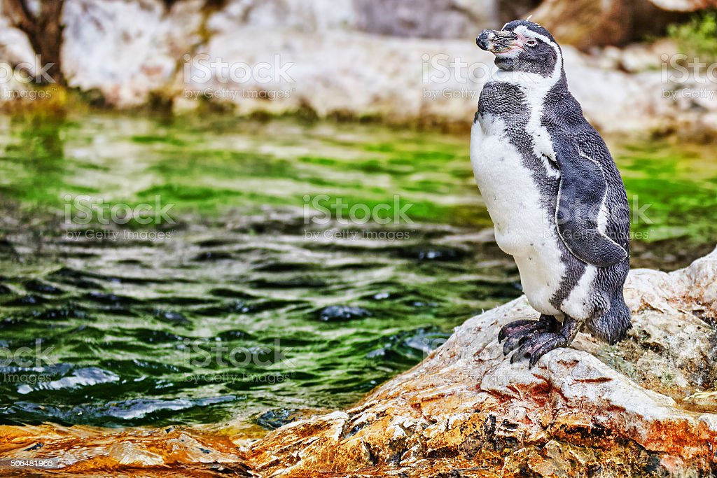 Jackass Penguin in its natural habitat in nature. stock photo
