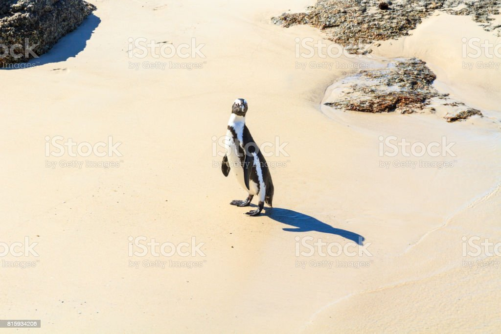 A Jackass Penguin stock photo