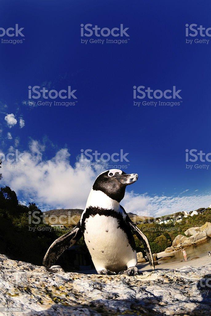 jackass penguin royalty-free stock photo