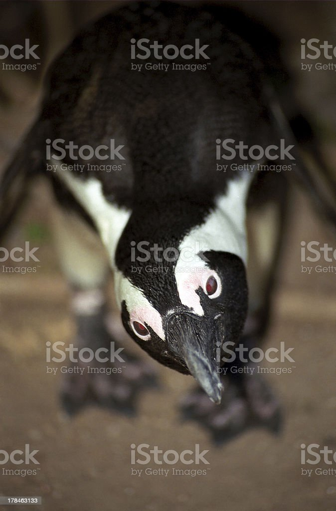 Jackass penguin, The Boulders, South African Republic royalty-free stock photo