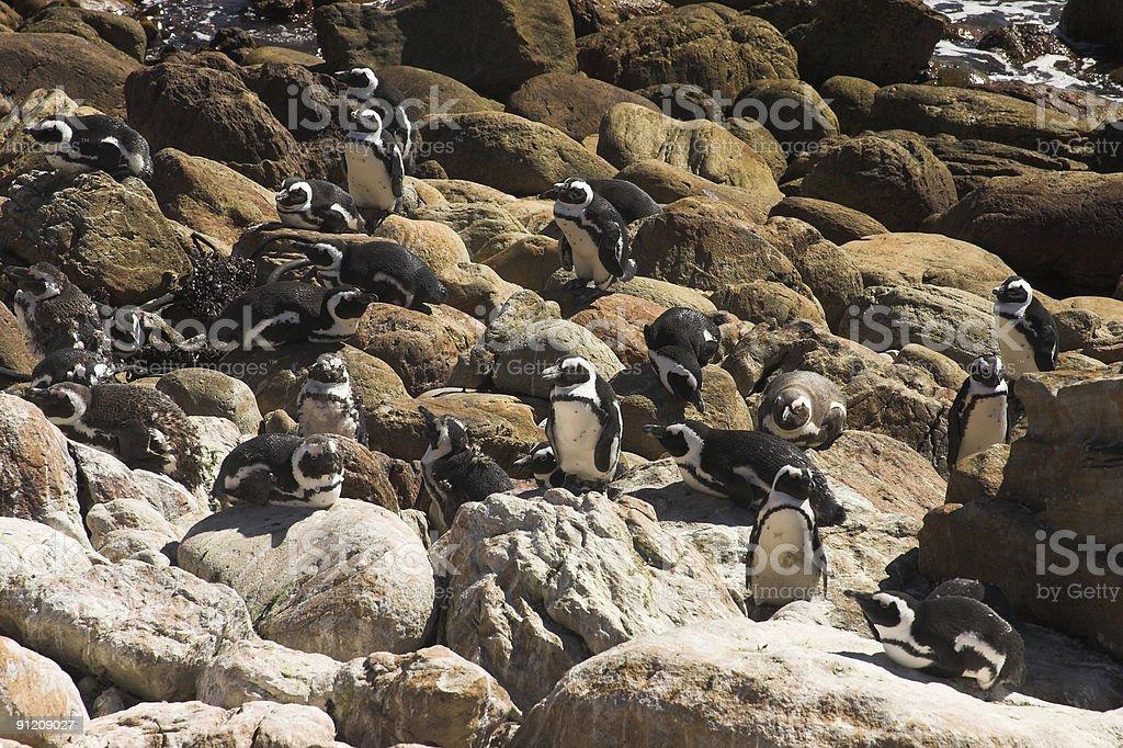 Jackass Penguins (Demersus Spheniscus) royalty-free stock photo