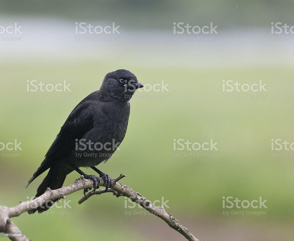 Jackdaw (Corvus monedula) chick stock photo