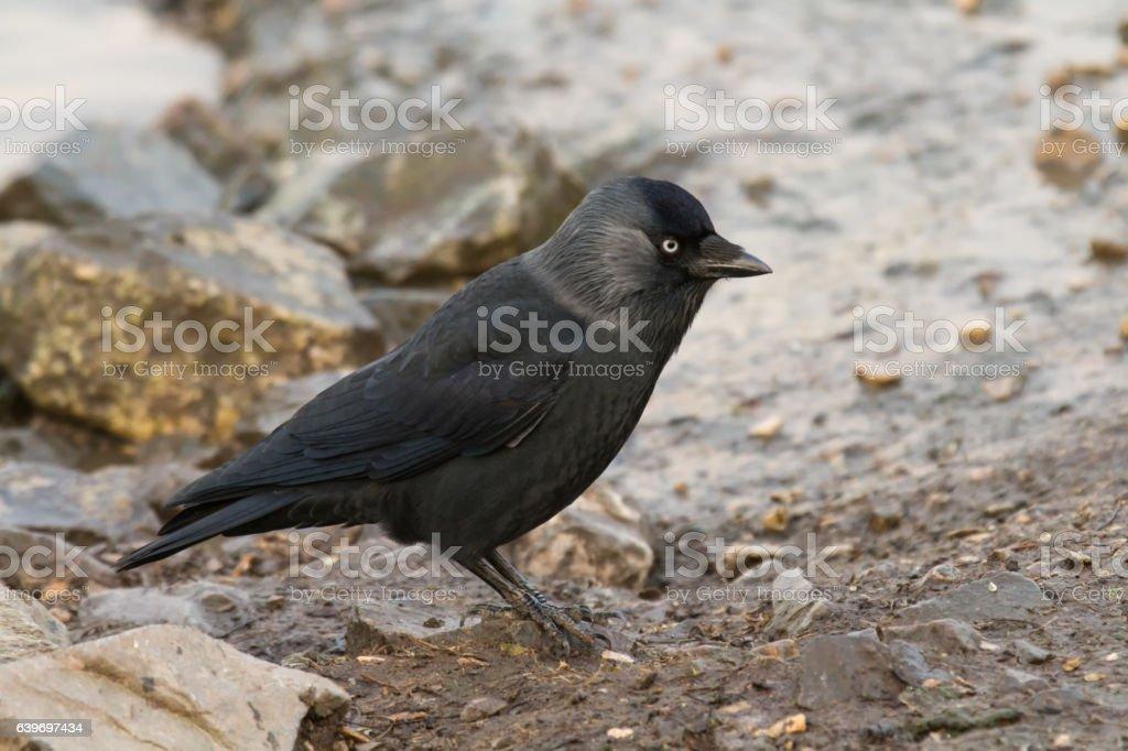 Jackdaw (Corvus monedula) on ground stock photo