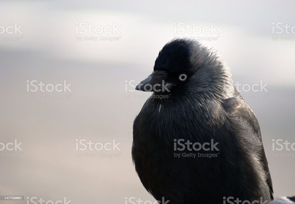 jackdaw royalty-free stock photo