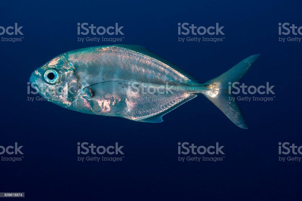 Jackfish - Palau, Micronesia stock photo