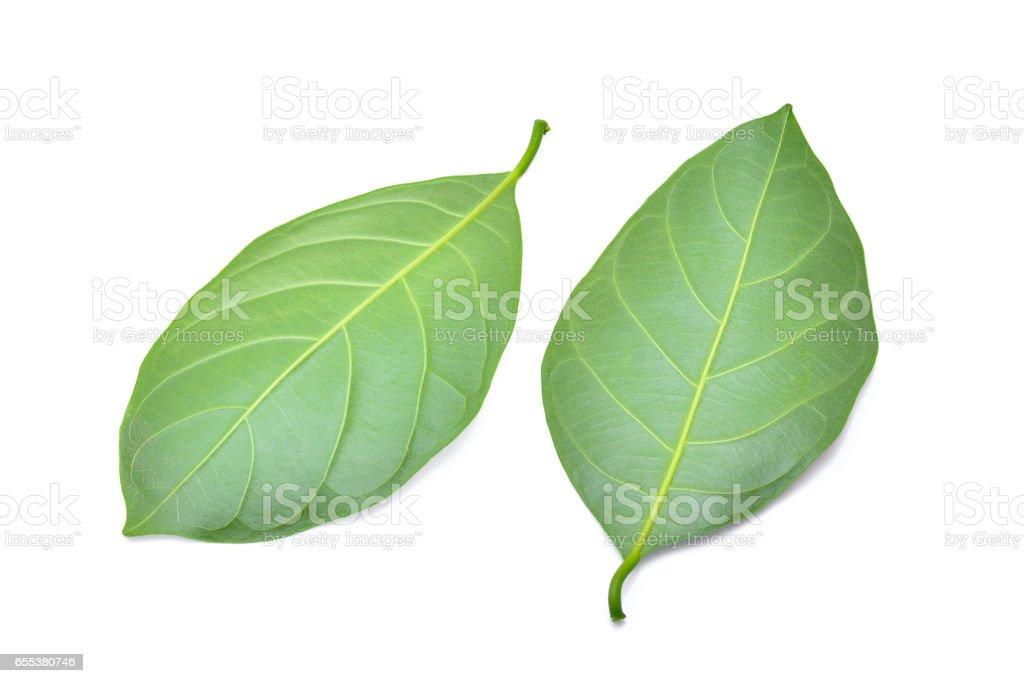 Jackfruit leaf isolated on white background stock photo