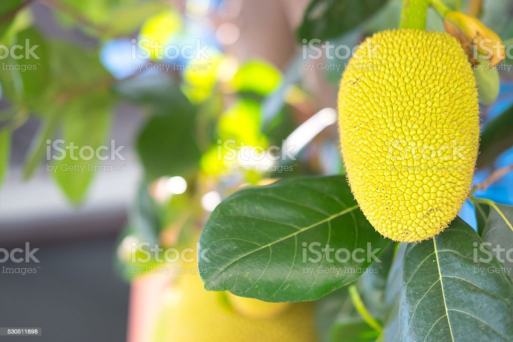 Jackfruit on the tree with green leaves blurry background stock photo