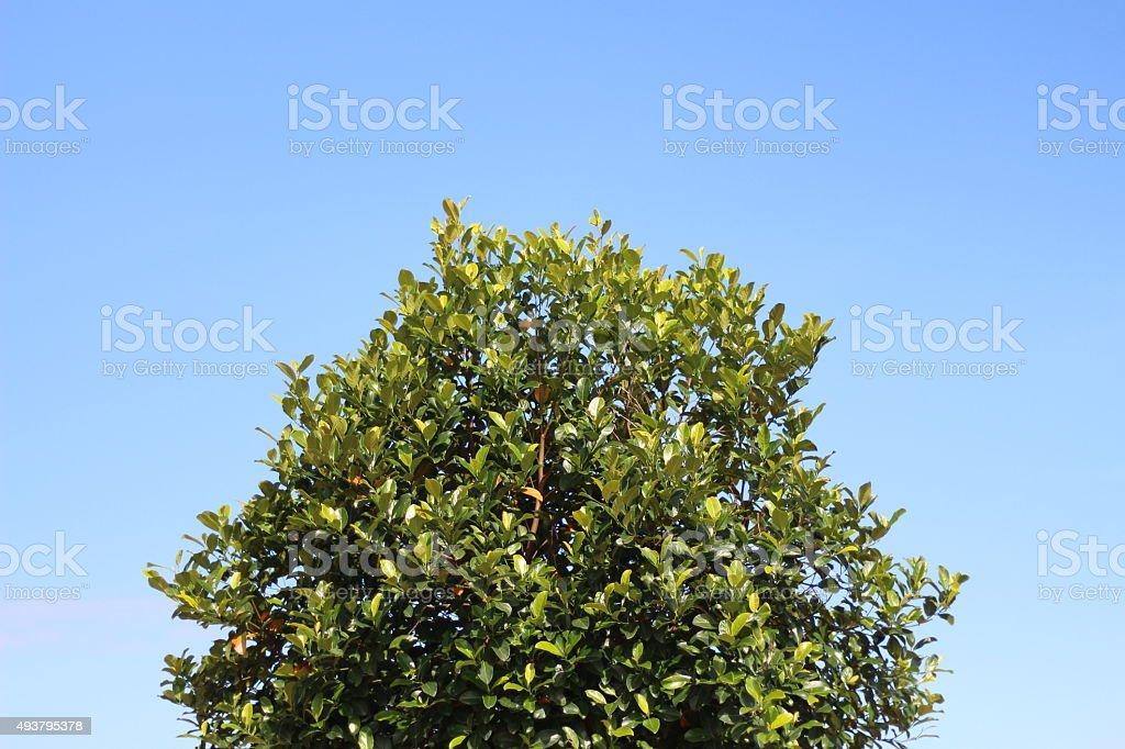 Джекфрут дерево и голубое небо. Стоковые фото Стоковая фотография