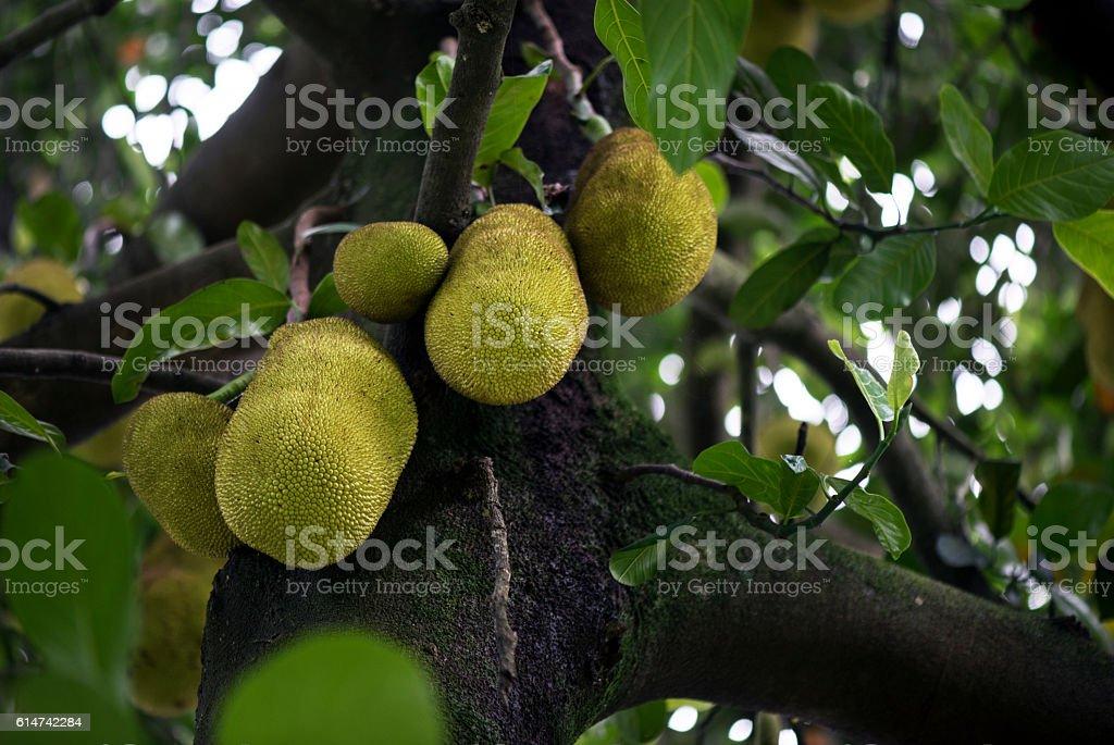 Jackfruit tree with fruits stock photo