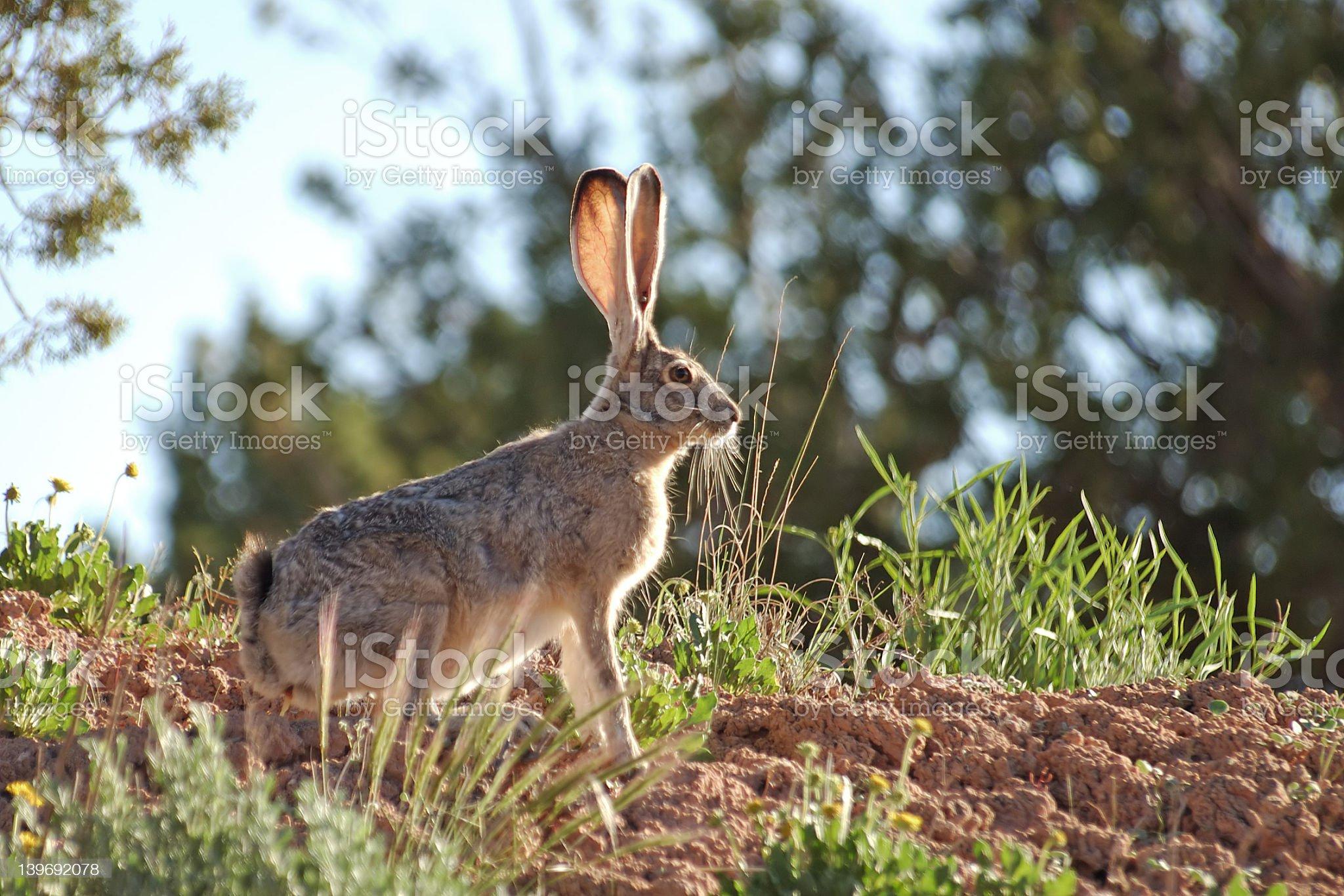 Jackrabbit with his eyes raised alert to danger royalty-free stock photo
