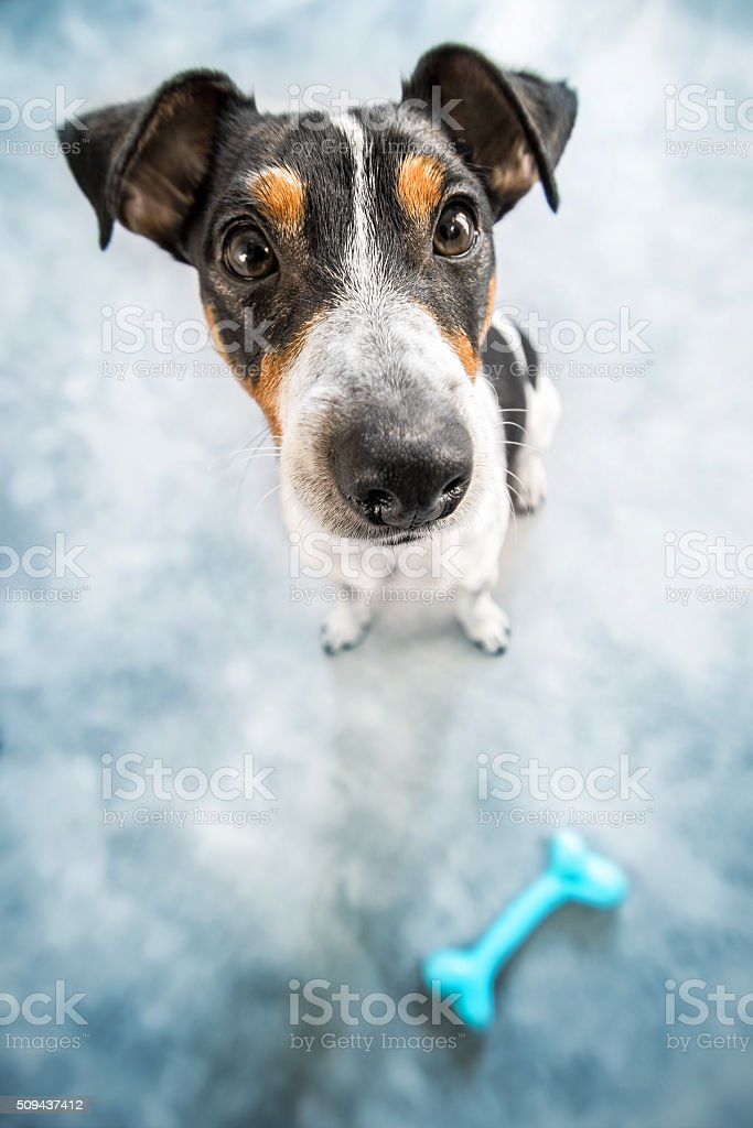 Jack-russell puppy dog wide angle lens portrait with bone toy stock photo