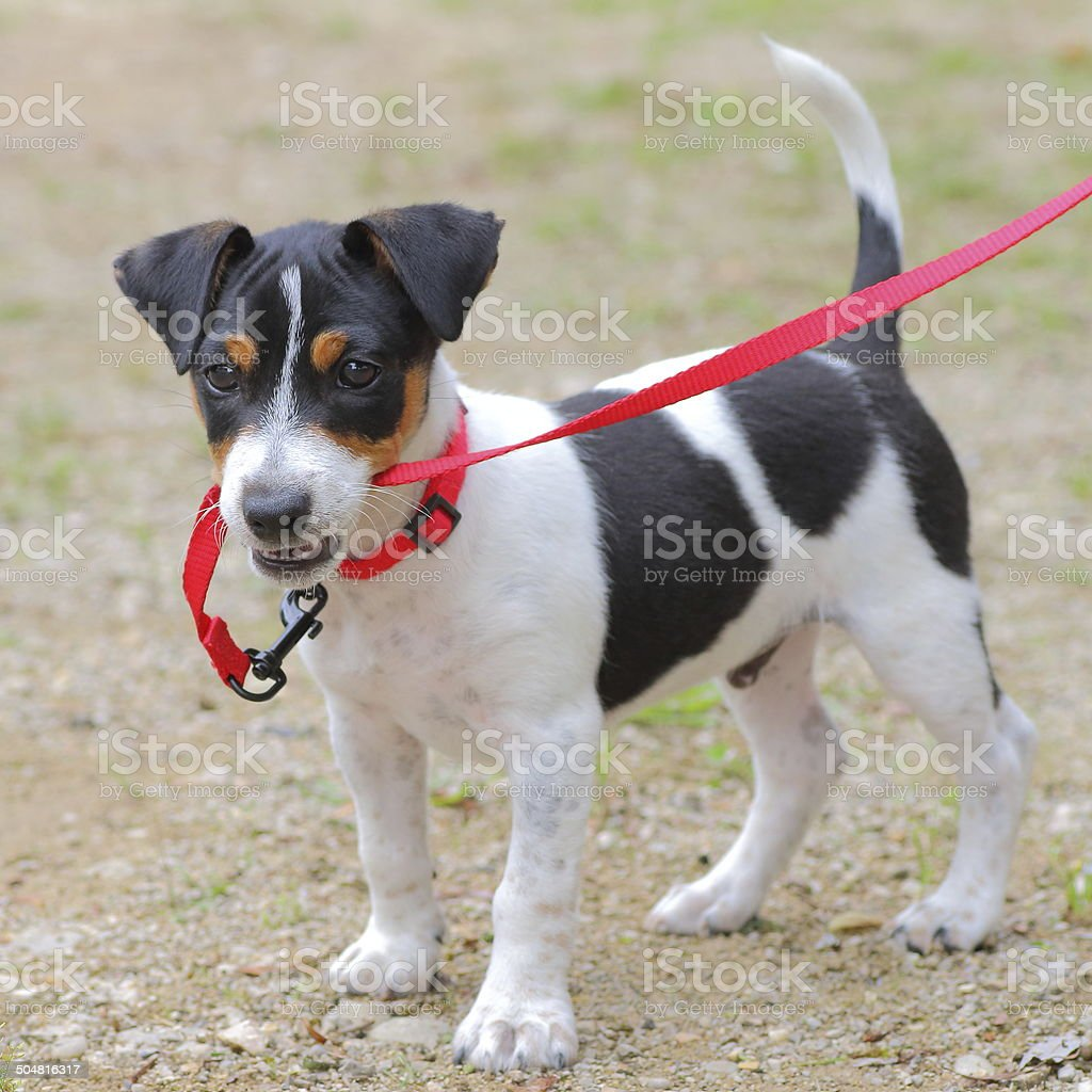 Jack-russell puppy playing stock photo
