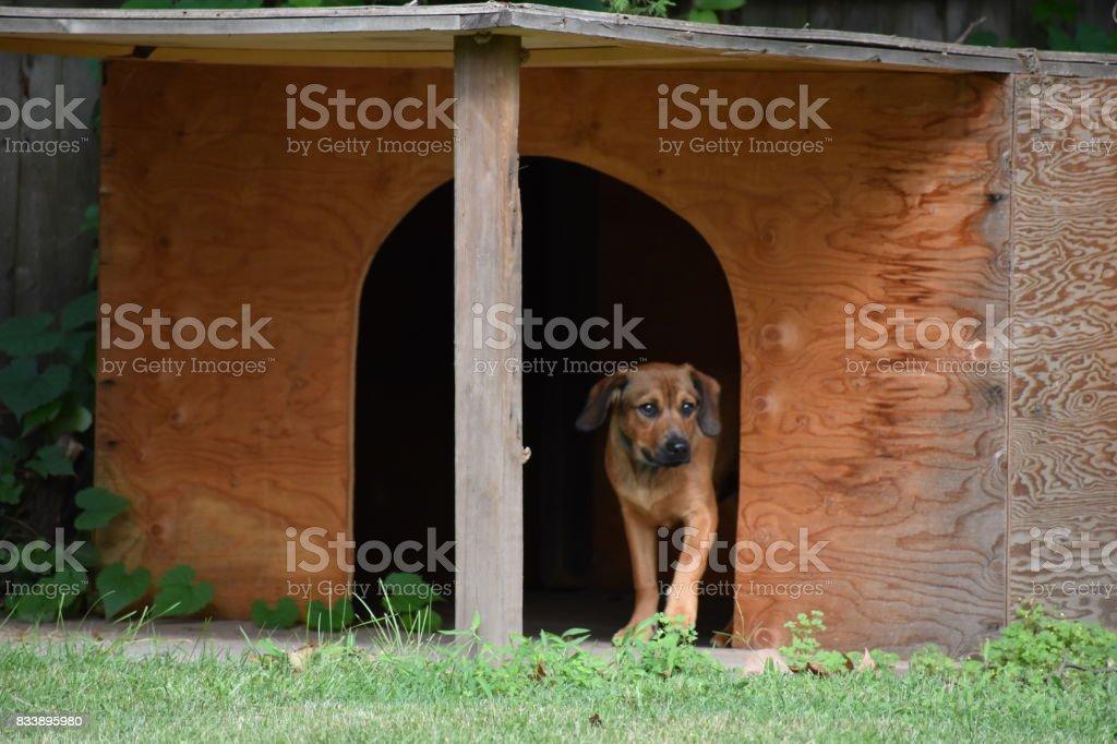 Jackson exploring the dog house stock photo