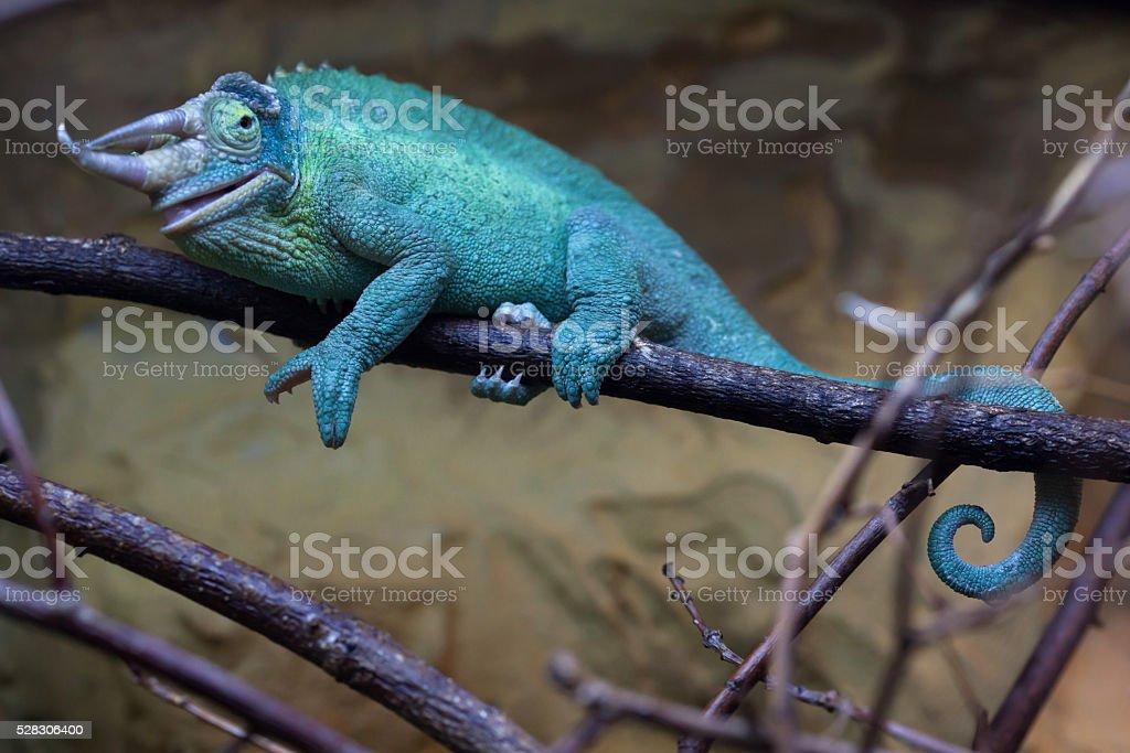Jackson's chameleon (Trioceros jacksonii). stock photo