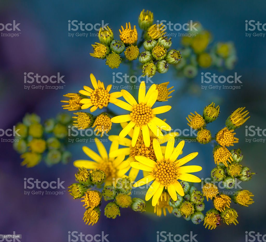 Jacobaea vulgaris or Ragwort Macro Wallpaper on Green and Purple stock photo