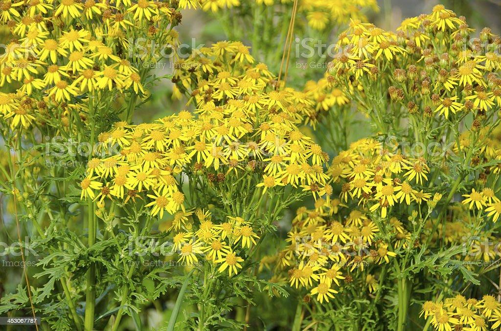 Jacobaea vulgaris, ragwort or benweed stock photo