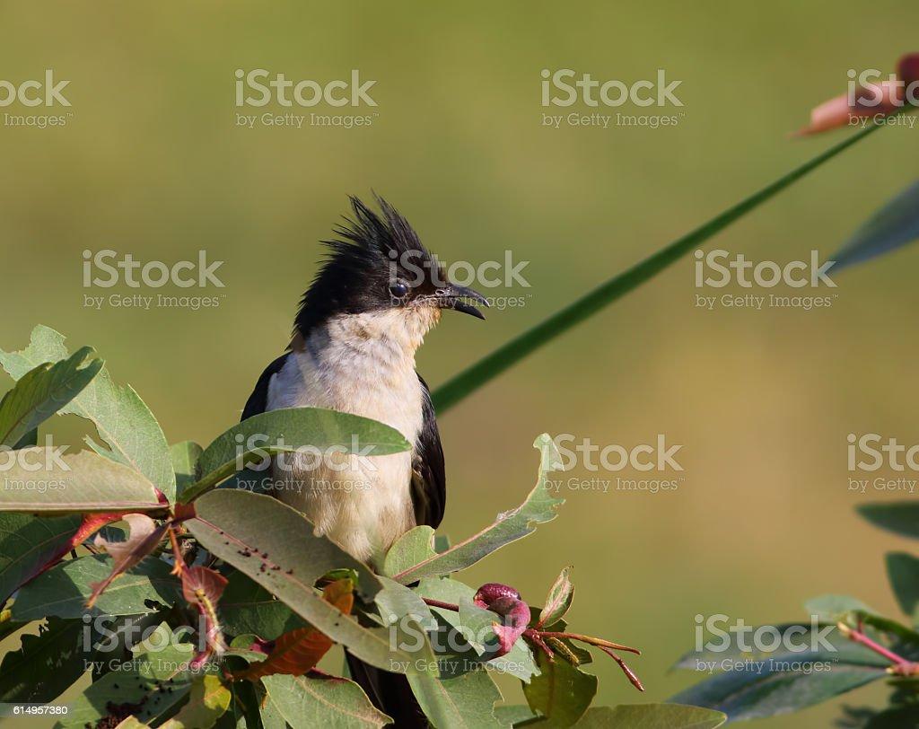 Jacobin cuckoo (Clamator jacobinus) stock photo