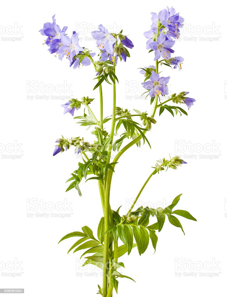 Jacob's Ladder or Greek valerian stock photo