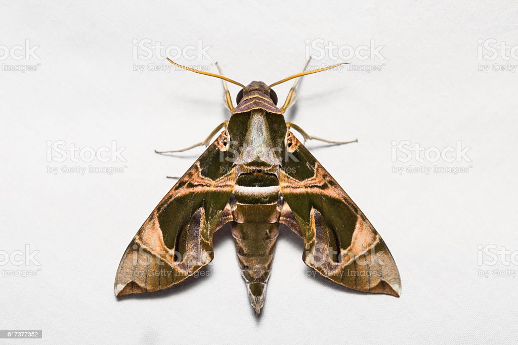 Jade hawkmoth on white screen stock photo