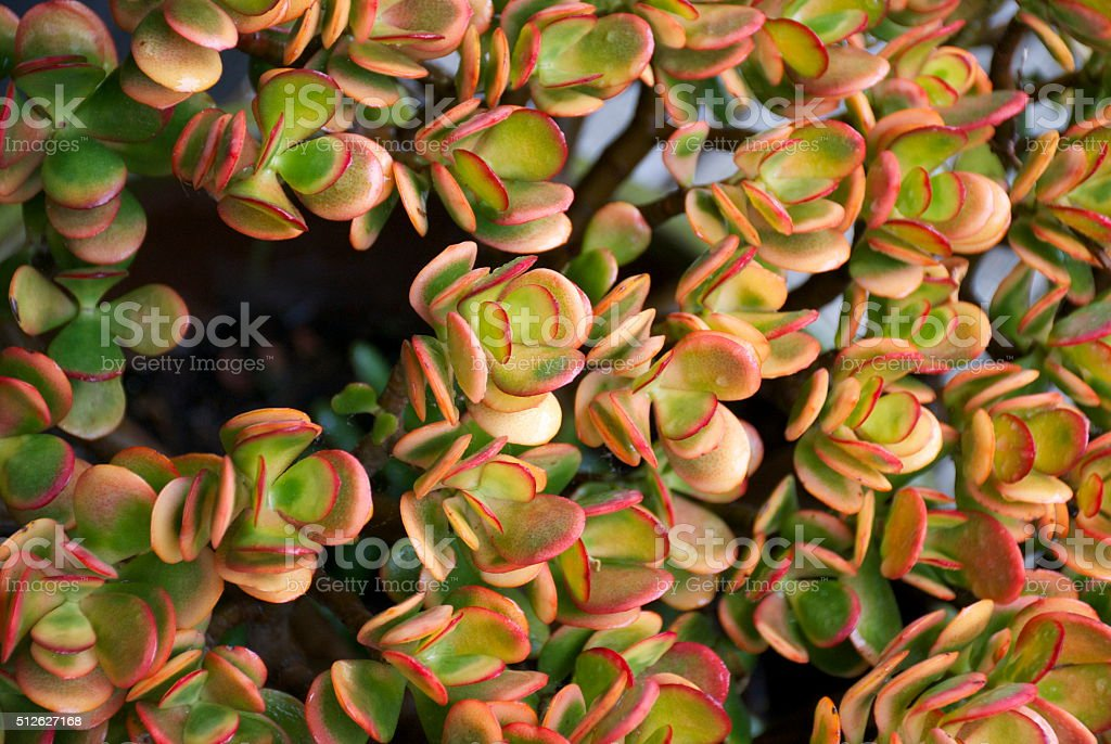 Jade Plant, Crassula Ovata stock photo