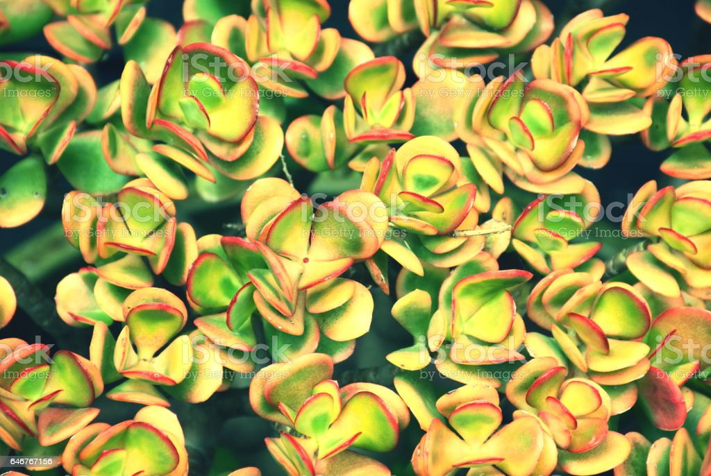 Jade Plant, Crassula Ovata Succulent, Filtered stock photo
