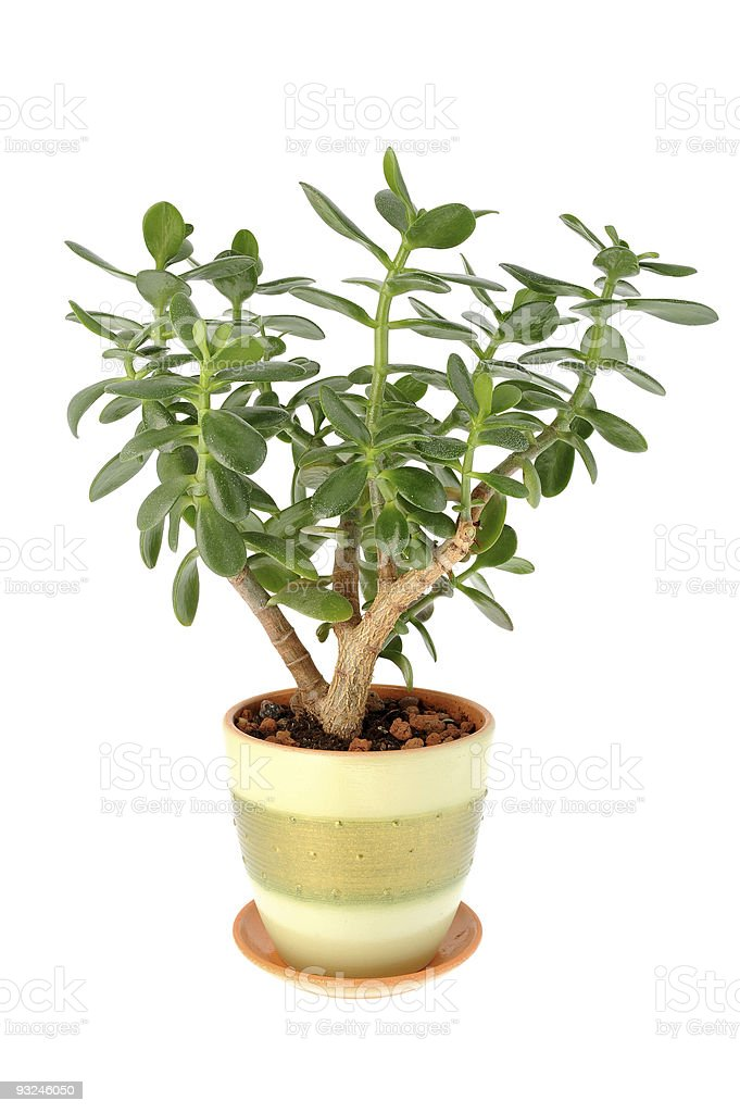 jade plant stock photo