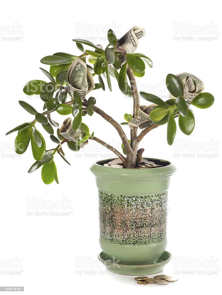 Jade plant with dollar bills isolated on white (blossoming money royalty-free stock photo