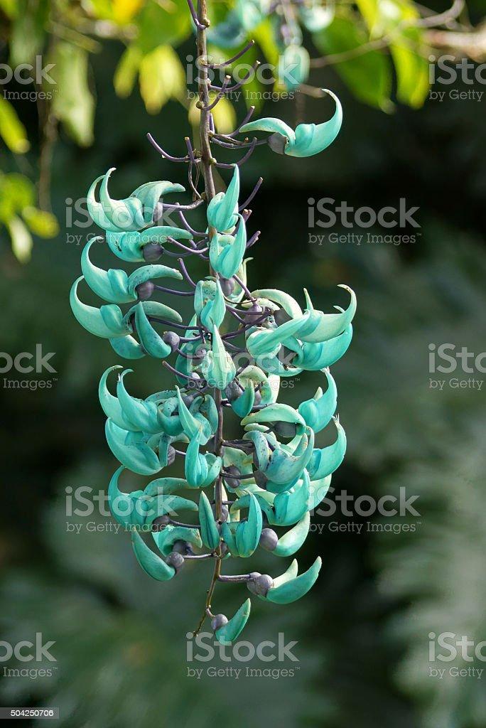 Jade vine stock photo